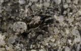 Salticus mutabilis 0000MA-96764.jpg