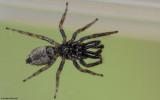 Salticus mutabilis 0000MA-96798.jpg