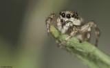 Salticus mutabilis .0959FA-93825.jpg