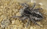 Philaeus chrysops 1384FA_EM96424.jpg