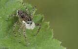 Menemerus semilimbatus .0000FA-90067.jpg