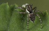 Menemerus semilimbatus .0000FA-90079.jpg