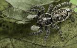 Menemerus semilimbatus .0000FA-94363.jpg