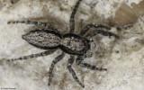 Menemerus bivittatus 0000Ms-96667.jpg