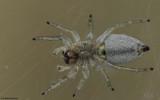 Icius hamatus .0000FA-98180.jpg