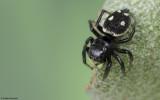 Heliophanus apiatus 0638FA-98686.jpg