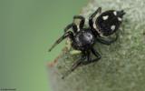 Heliophanus apiatus 0638FA-98687.jpg