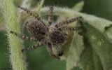 Aelurillus v-insignitus .0720FA-91612.jpg