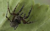 Cyrba algerina 0000FA-92716.jpg