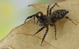 Cyrba algerina 0000FA-92767.jpg