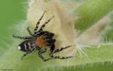 Cyrba algerina 0672MA-90027.jpg