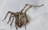 Agelenidae