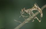 Rhomphaea nasica 1671MA_E171022.jpg