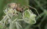 Cheiracanthium striolatum 0588FA-91793.jpg