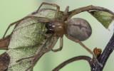 Cheiracanthium striolatum 0588FA-96342.jpg