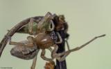 Cheiracanthium striolatum 0588FA-96407.jpg