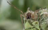 Cheiracanthium striolatum 0588FA-91876.jpg