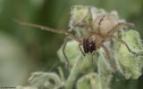 Cheiracanthium striolatum 0588FA-91878.jpg