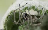 Cheiracanthium pelasgicum 0000FA-98361.jpg