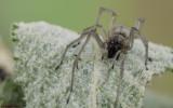 Cheiracanthium pelasgicum 0000FA-98364.jpg