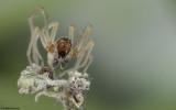 Cheiracanthium pelasgicum 0875MA-98313.jpg