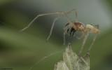 Eutichuridae