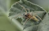 Cheiracanthium pelasgicum 0876MA-98391.jpg