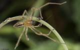 Cheiracanthium 1272MA-98504.jpg