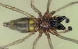 Cheiracanthium 0230MA_EM-98064.jpg