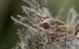 Rhipicephalus sanguineus_0821 EM-96103.jpg