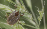Rhipicephalus sanguineus_0821 EM-96134.jpg