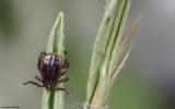 Rhipicephalus sanguineus_0962 EM-93907.jpg