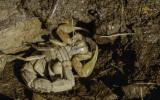 Buthus ibericus 0000-0061005.jpg