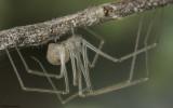 Spermophora senoculata 1376FA-95486.jpg