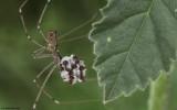 Holocnemus pluchei 0725FA_EM-92238.jpg