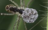 Holocnemus pluchei 0727FA_EM-93867.jpg