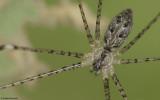 Holocnemus pluchei 1045FA_EM-2.jpg