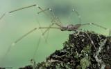 Holocnemus hispanicus 0000FA-98865.jpg