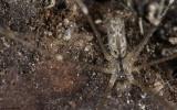 Holocnemus hispanicus 0000MA-98854.jpg