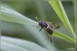Berkenknotssprietbladwesp - Cimbex femoratus