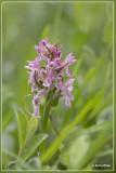Vleeskleurige orchis - Dactylorhiza incarnata