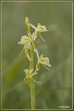 groenknolorchis (Liparis loeselii)