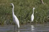 Great & Intermediate Egret