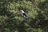 Gray-headed Kingfisher