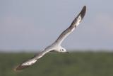 Gray-headed Gull