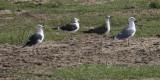 Baltic & Heuglin's Lesser Black-backed Gull