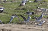 Black-headed Gull with Gray-headed