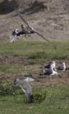Lesser Black-backed Gullsjpg