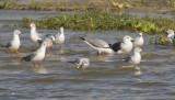 Lesser Black-backed & Gray-headed Gulls