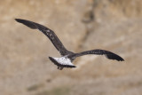 Lesser Black-backd Gull